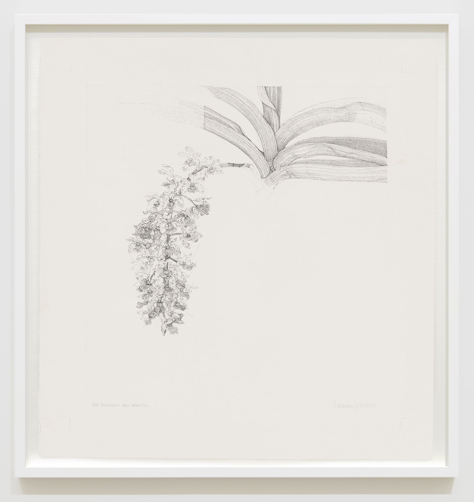 Charmian Johnson, Foxtail Orchid: Rhyncostus Violacea X Rhyncostus Gigantea, 1987, ink and graphite on paper, 27 x 26 in. (67 x 65 cm) by
