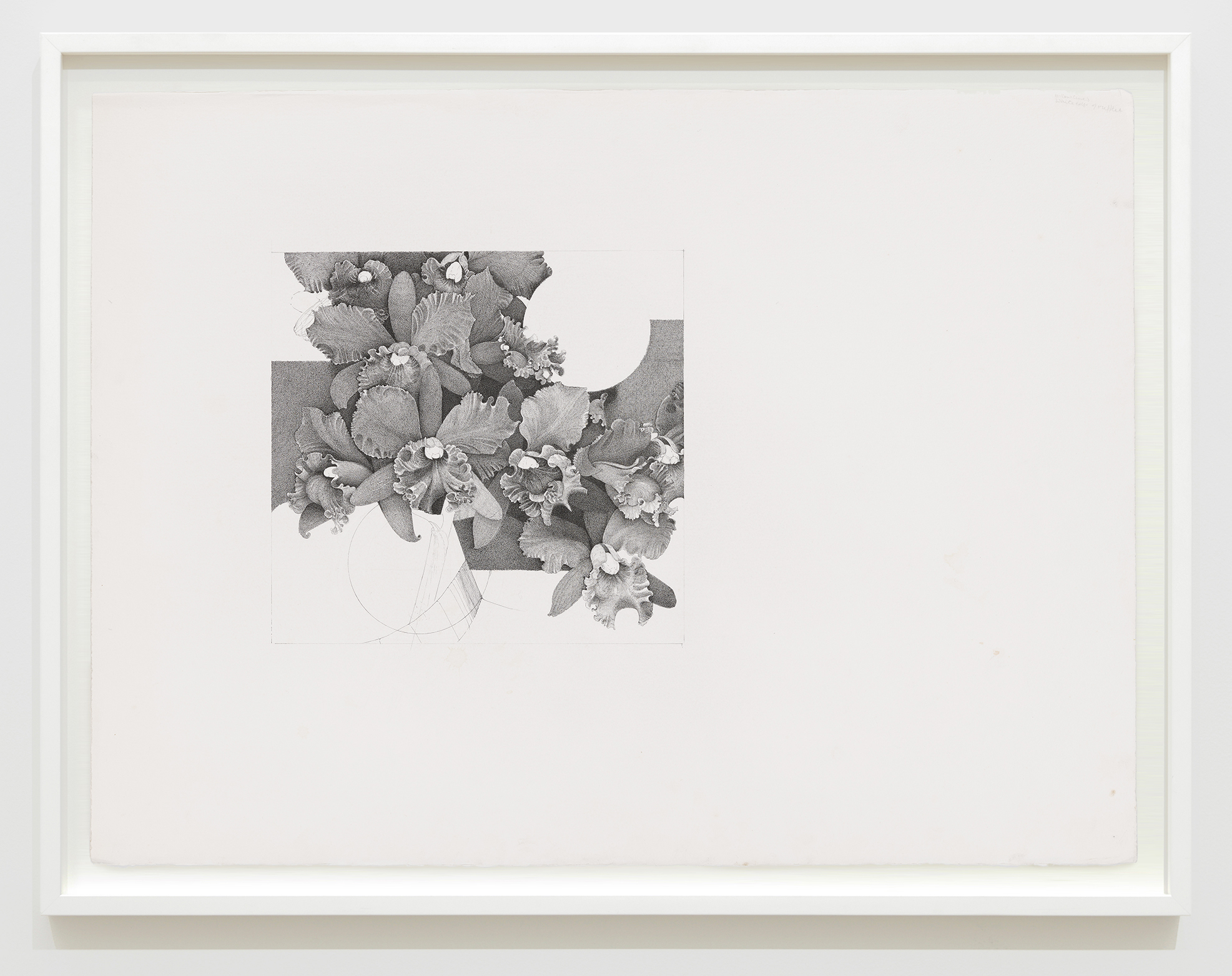 Charmian Johnson, Yellow lilies, white edge of ruffles, unknown date, ink on paper, 26 x 34 in. (65 x 85 cm) by
