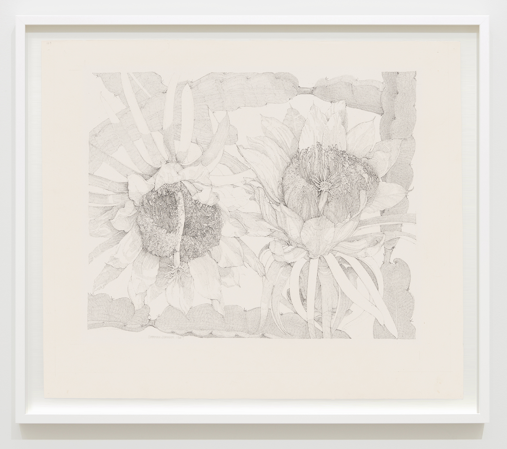 Charmian Johnson, Night-Blooming Cereus; Hylocereus Undatus, 1987, ink on paper, 26 x 30 in. (65 x 76 cm) by
