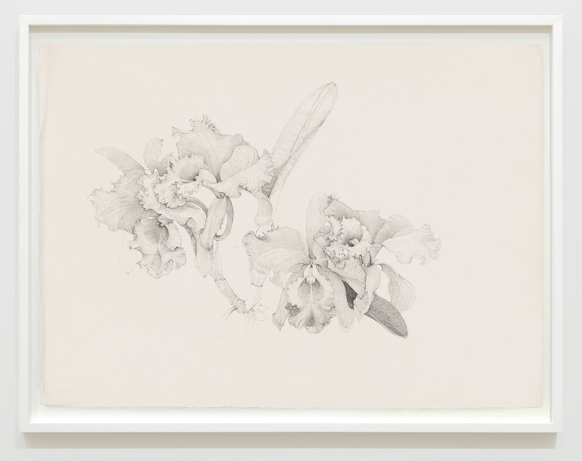 Charmian Johnson, C. Empress Bells X C. Princess Bells, unknown date, ink on paper, 26 x 34 in. (65 x 85 cm) by