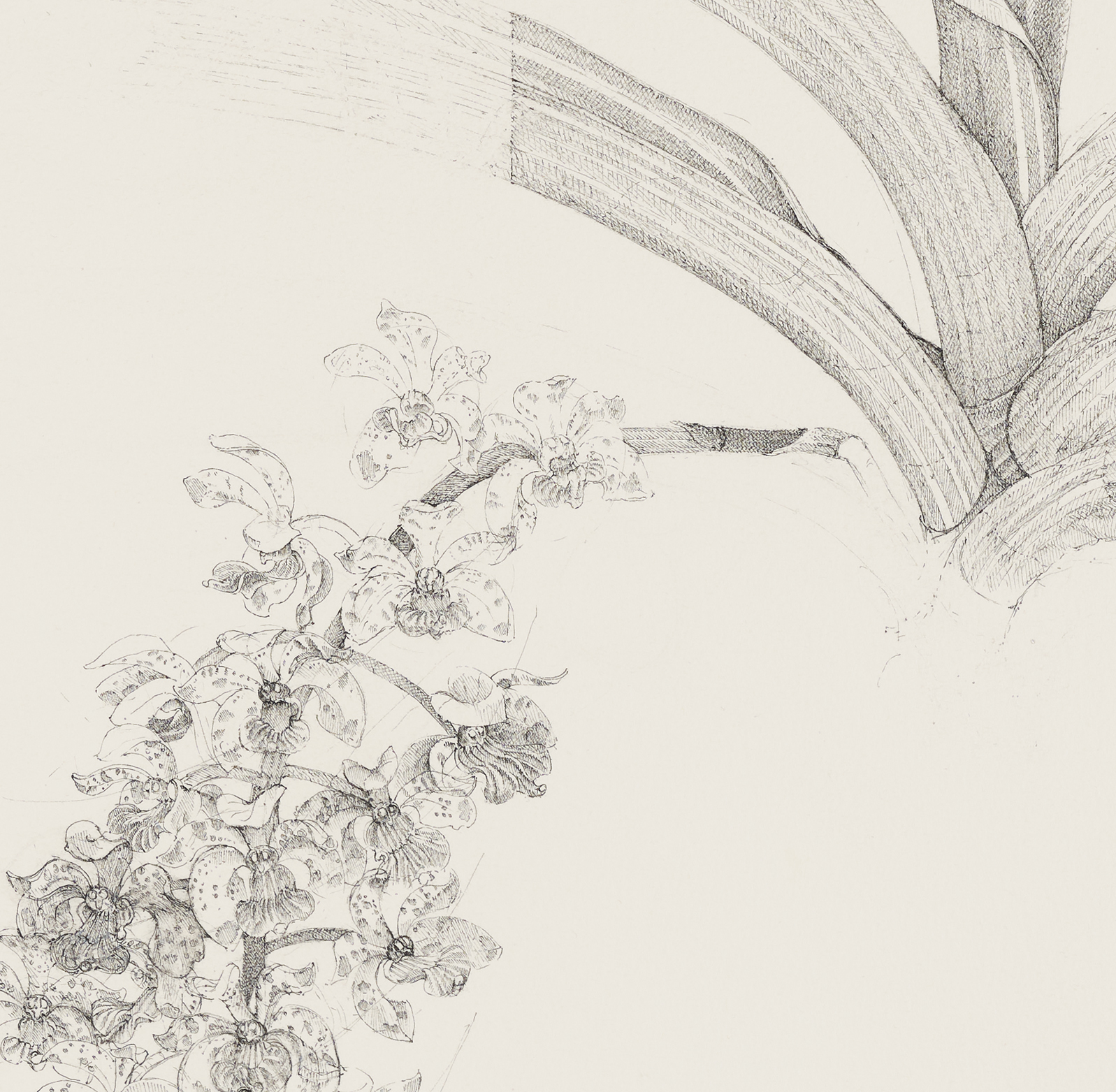 Charmian Johnson, Foxtail Orchid: Rhyncostus Violacea X Rhyncostus Gigantea (detail), 1987, ink and graphite on paper, 27 x 26 in. (67 x 65 cm) by
