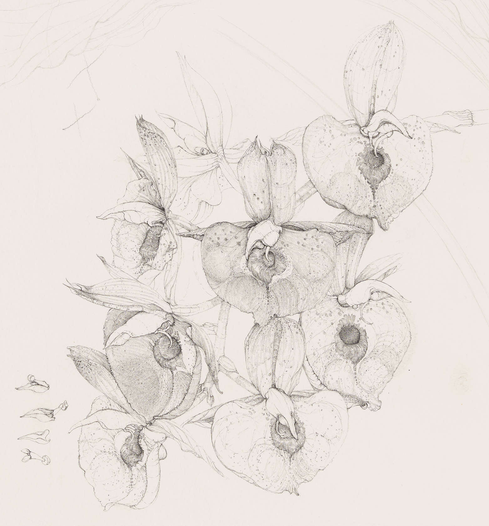 """Charmian Johnson, CTSM. Susan Fuchs """"Vi's Choice"""" (detail), unknown date, ink and graphite on paper, 34 x 26 in. (85 x 65 cm) by"""