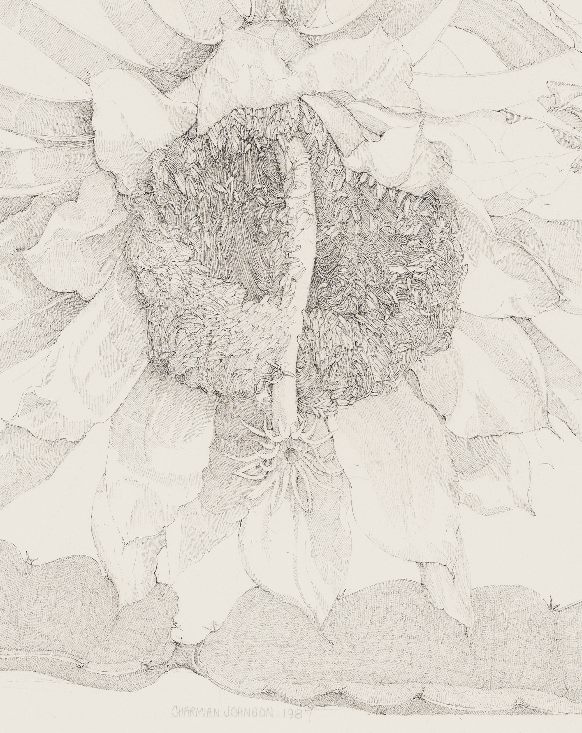 Charmian Johnson, Night-Blooming Cereus; Hylocereus Undatus (detail), 1987, ink on paper, 26 x 30 in. (65 x 76 cm) by