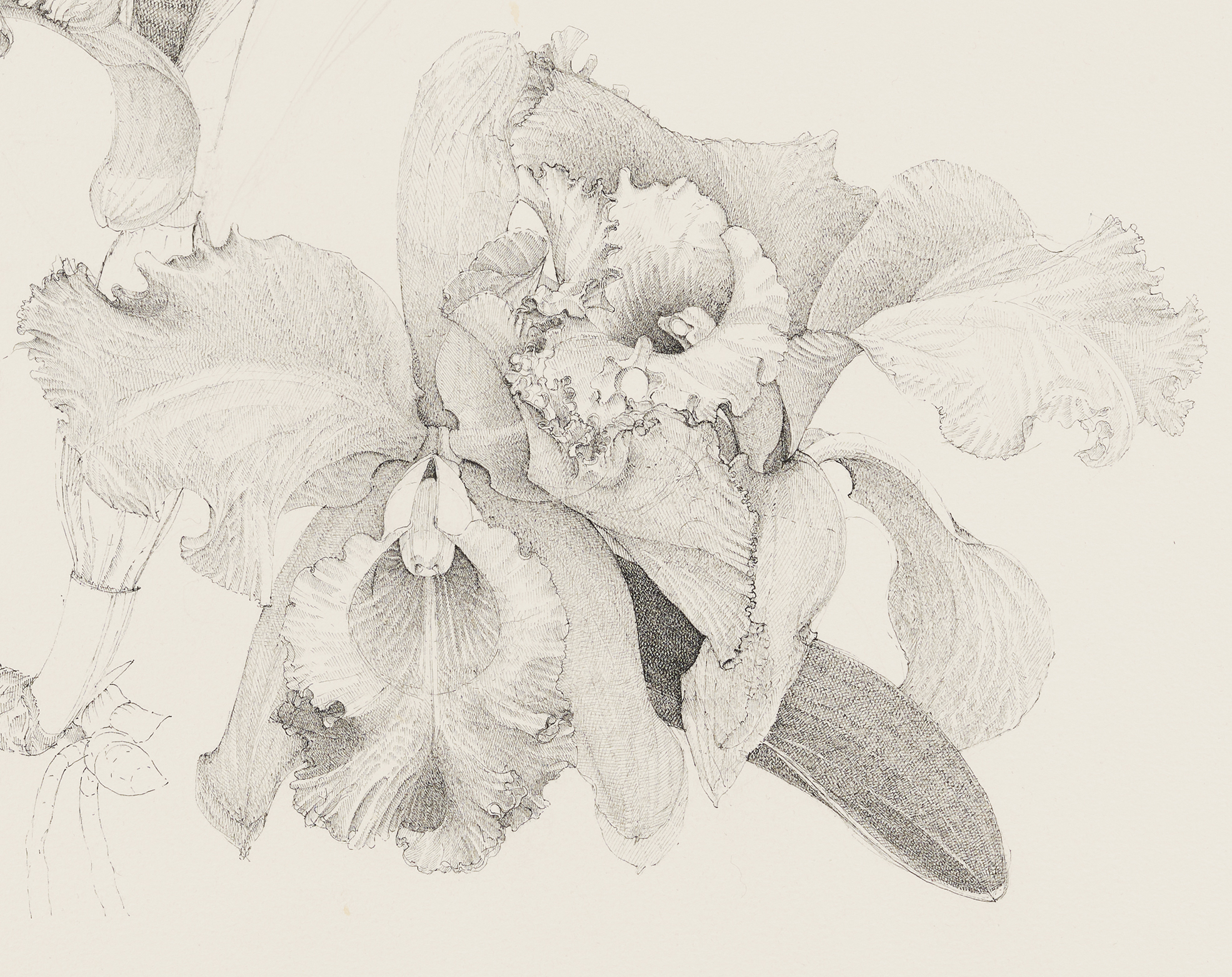Charmian Johnson, C. Empress Bells X C. Princess Bells (detail), unknown date, ink on paper, 26 x 34 in. (65 x 85 cm) by